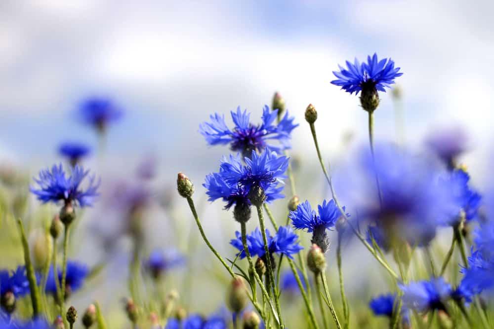 bienfaits-eau-florale-bleuet